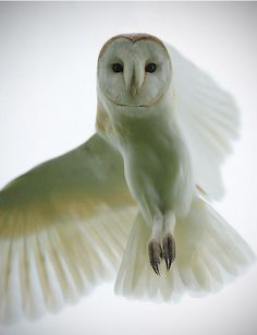 """wasbella102: """"Barn owl: Paul Bannick Nature and Bird Photography http://www.paulbannick.com/ I have looked through Google and I can only find one person to attribute this image too. I am not 100%..."""