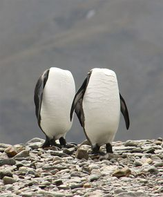 And if you listen very closely on long, stormy nights you can hear the steady tromp, tromp, tromp of the headless penguins, come to take back what is rightfully theirs.