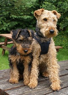 welsh terrier - Google Search