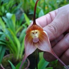 This rare plant from the cloud forests of Ecuador is called the Monkey Orchid. I HAVE ONE!! YAYAHH