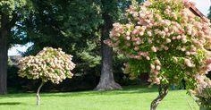 Syrinhortensia – Den beste av hortensiaene Planters, Fruit, Garden, Garten, Lawn And Garden, Gardens, Plant, Window Boxes, Gardening