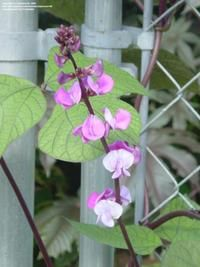 Learn how to cover that ugly chain link fence with beautiful vines.