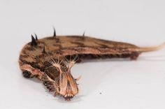 Owl butterfly caterpillar