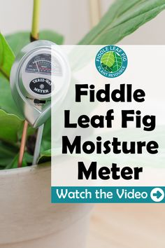 Water your fiddle leaf correctly by using a fiddle leaf fig moisture meter. Our fiddle leaf fig moisture meter can help take the guesswork out of watering. Fiddle Leaf Fig Tree, Fiddle Fig, Spider Plants, Tree Care, Outdoor Plants, Plant Care, How To Find Out, Moisturizer, Houseplants