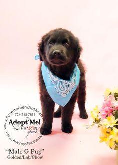 G-pup is an #adoptable Golden Retriever, Labrador Retriever Dog in #Uniontown, #PENNSYLVANIA