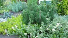 Portland Oregon Garden | Xeriscaping & ground covers foxly thyme, angelina sedum & wooly thyme