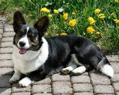 Seven Thirty-Four Years and a Lifetime of Dog Dreams - The Daily Corgi Animals And Pets, Cute Animals, Cardigan Welsh Corgi, Corgis, Little People, Dog Training, Cute Dogs, Cardigans, Dog Cat