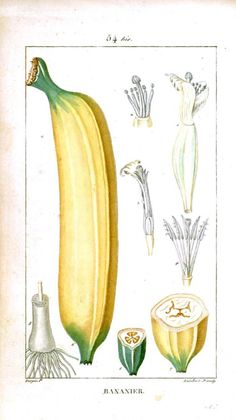 East is Everywhere — Oceania Week! Botanical drawing of banana France...