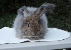 Learn how to care for angora rabbits at http://www.industriousfamily.com/caring-for-angoras.html