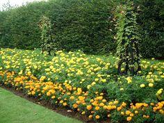 Puutarha.net - Keskustelupalstat - Siemenestä koristekasviksi - Samettikukka