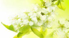 HD Hintergrundbilder weiße blüten blütenstand weiße blütenblätter blüte, desktop hintergrund