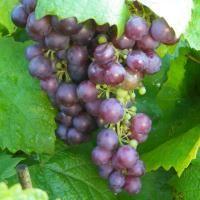 Vin 'Vanessa'  Frugten: Middelstore, røde, få kerner. Anvendelse: Slut. sept. i drivhus. Vækst: Kraftigt rankende vækst. I øvrigt: Frodig og nem plante. God sygdomsresistens. Botanisk navn: Vitis vinifera.