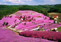 Higashimokoto Shibazakura. Hokkaido Japan   Lawn Cherry Blossom plants