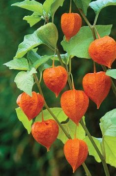 """Physalis alkelengi - Chinese Lantern - My absolute favorite fall """"flower"""". This just appeared in my garden. For two years I pulled it out as a weed until I missed one and saw the lanterns. Exotic Flowers, Fall Flowers, Orange Flowers, Beautiful Flowers, Garden Beds, Garden Plants, Chinese Lanterns Plant, Green Chandeliers, Seed Pods"""