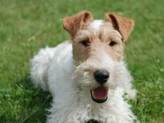 cute wire fox terrier - and they don't shed!