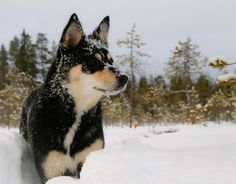 Gunuine breed from Finland and Lapland. Big Dogs, Small Dogs, Dangerous Dogs, Herding Dogs, Types Of Dogs, Shepherd Puppies, Finland, Cute Puppies, Reindeer