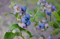 There are Plants that Improve Memory and Concentration and using them can keep your brain healthy and enhance cognitive functioning. Plants Under Trees, Organic Blueberries, Freezing Blueberries, Fruits Photos, Blueberry Bushes, Old Farmers Almanac, Organic Matter, All Flowers, Tinkerbell