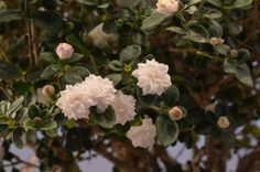 ♕ flowering fairy garden plants