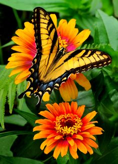 So pretty! .....  Eastern Tiger Swallowtail butterfly on 'Zowie' Zinnia by Cindi Dyer