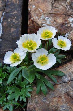 High Alpine Buttercup (Ranunculus glacialis) care information