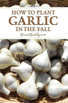 Garlic is one of the easiest crops you can grow in your garden. It is a long season crop with a unique growing pattern compared to other garden crops. Garlic is planted in fall in order to give it a head start and enough time to produce a larger bulb. Fall Vegetables, Organic Vegetables, Growing Vegetables, Veggies, Gardening For Beginners, Gardening Tips, Gardening Direct, Gardening Magazines, Gardening Quotes