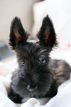 Scottish Terrier Puppy–those eyes, those ears, that nose. Scottish Terrier Puppy–those eyes, those ears, that nose. Scottish Terrier Puppy, Pitbull Terrier, Boston Terriers, Pet Puppy, Dog Cat, Cute Puppies, Cute Dogs, Mundo Animal, Baby Dogs