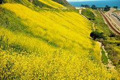 Hillside mustard, north of Ventura In the distance are the Cyprus trees planted by Epifanio Manzo in the 1920's or 30's.  He was the caretaker of Foster Park