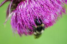 Bumblebee on Thistle Flower look by Klaus Vartzbed on 500px