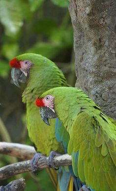 A pair of beautiful parrots at Animal Kingdom in Orlando, Florida   Featured in Pets and Animals  Featured in Disney  Featured in Nature and Landscape Photography