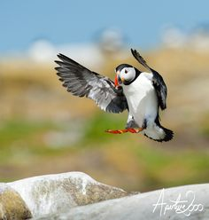Puffin landing by Colin Carter on 500px