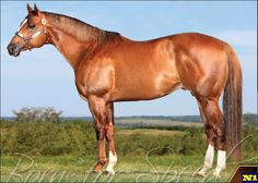 Quarter Horse - stallion Phoebes Cartel