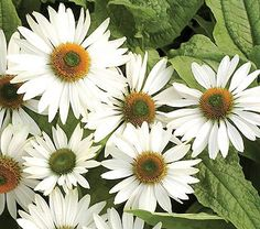 A sweet perfume has been about the only desirable attribute missing from Coneflowers, and here it is! 'Fragrant Angel' boasts large fragrant white flowers.