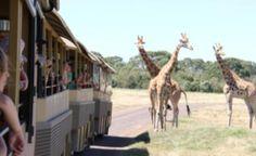 Werribee open range Zoo's famous safari tour.