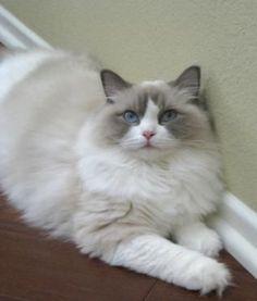 Ragdoll cat #ragdollcat