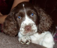English Springer Spaniels, in general. My darling Milou, in particular. (Here as a puppy.)