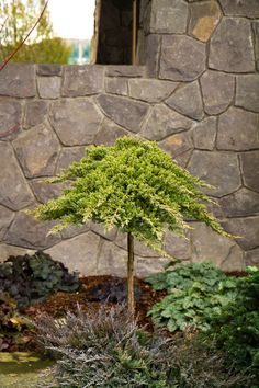 Dwarf Japanese Garden Juniper achieves gold-standard for dense, water-wise groundcover. Winter color has a purple tint.  Reaches up to 1 ft. tall, 6 ft. wide. Zone: 4 – 9  Use: Rocky slope, water features, city gardens.