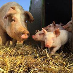 "@4offive: ""#pig #piggy #pigs  #outdoorrearedpigs #pork #duroc #landrace #bbq #kitchen #cook #porcine #freedomfoods #dingleydell #dingleydellpork #finedining #farm #farming #suffolk #farmtofork #chefslife #chefsofinstagram #truecooks #foodstars #foodporn #foodart #buybritish"""