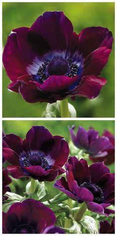 Burgundy Poppy Windflowers ♥️                                                                                                                                                                                 More
