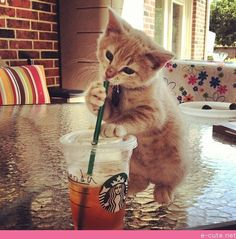 Oh no, kitty, you'd better get away from my Venti Starbucks iced tea :)