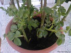 """Тройчатка"" для проращивания роз. Берём 1 ч. л. мёда, 2 ч. л. сока алоэ (алоэ…"