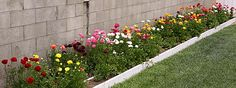 How to Grow Ranunculuses. This page has so much information and comparisons from four planting seasons by one home gardener.