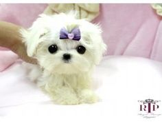 Maltese Puppies For Sale: Precious Micro Tiny Teacup Maltese Extreme Babydoll face!