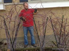 How to Train and Prune Black Raspberries: Black raspberries can be a delicious and productive crop for the small landscape. Learn how to train and prune black raspberries for the best harvest. Raspberry Bush, Raspberry Plants, Blackberry, Cherry Fruit Tree, Fruit Trees, Fruit Garden, Garden Trees, Herb Garden, Black Raspberries