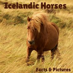 ZigZag On Earth shares some intersting facts and beautiful pictures of majestic Icelandic horses