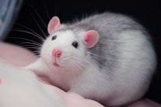 Small pets are so Precious like this Dumbo Pet Rat. Just look at those cute ears! Rare Animals, Animals And Pets, Funny Animals, Strange Animals, Hamsters, Rodents, Fancy Rat, Rat Care, Cute Rats