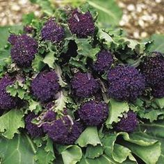"""Purple sprouting      A beautiful old broccoli, from England.  Pruple sprouting is primarily known for its color but also the taste.  The plant forms its abundance of purple shoots after the winter, from February to April.    You sow it in spring to early summer, transplanting by autumn.  Planting distance is at least 45 cm, the plants are strong!"""