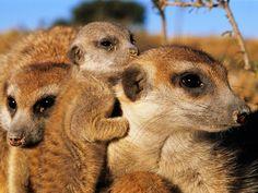 Meerkats.