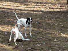 Pointer Dog For Sale In Lebanon