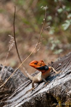 Lizard with a reddish head and black trim. I don't like brief descriptions.