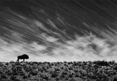 Loneliness  Morkel Erasmus  A lone wildebeest faces the winds of the Kalahari desert